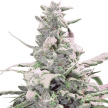 Royal Queen Seeds - Royal Creamatic